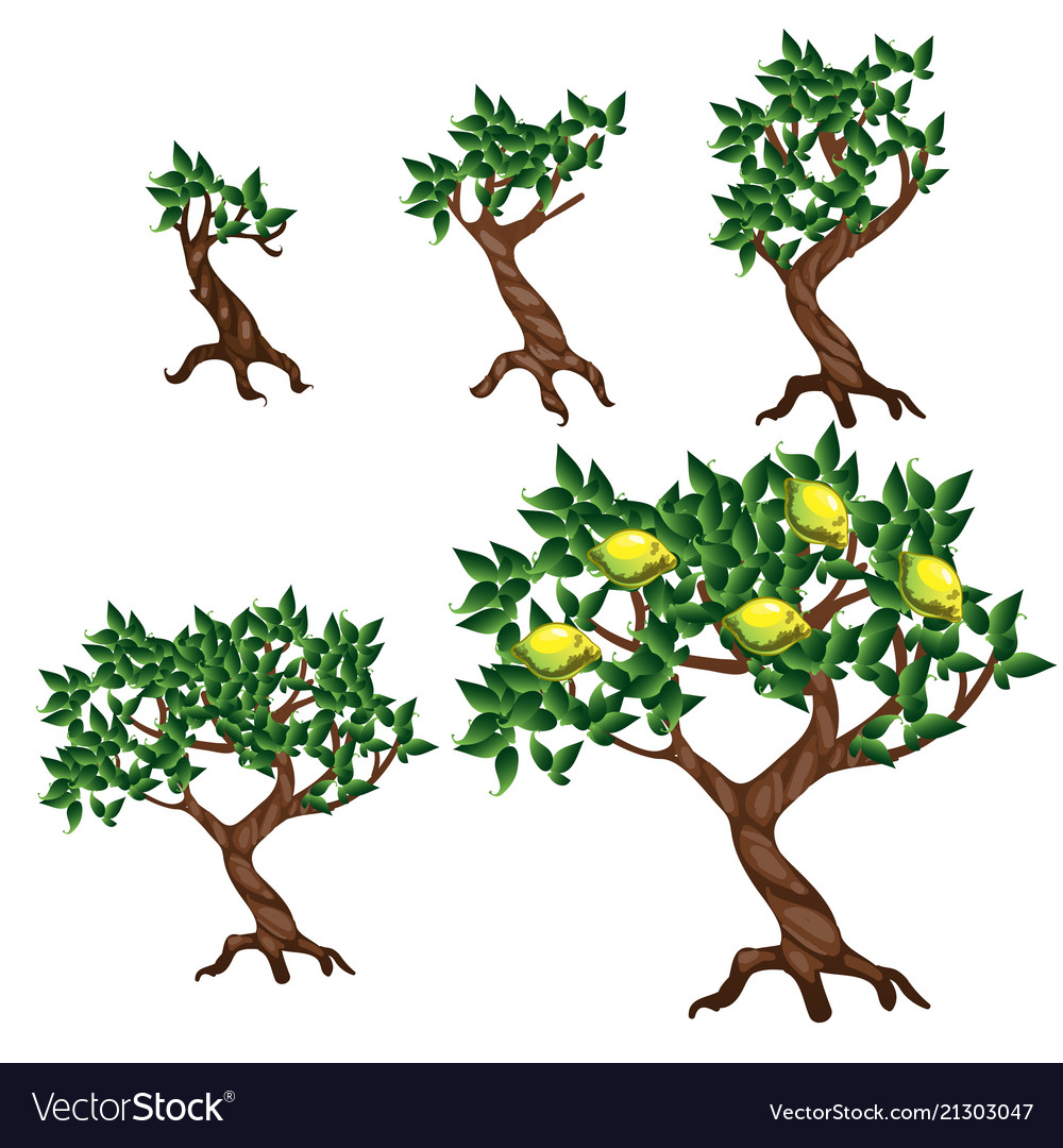 The stages of growing a lemon tree isolated on