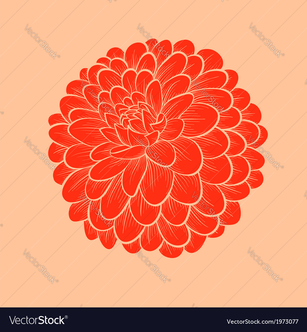 Flower Dahlia drawn in graphical style vector image