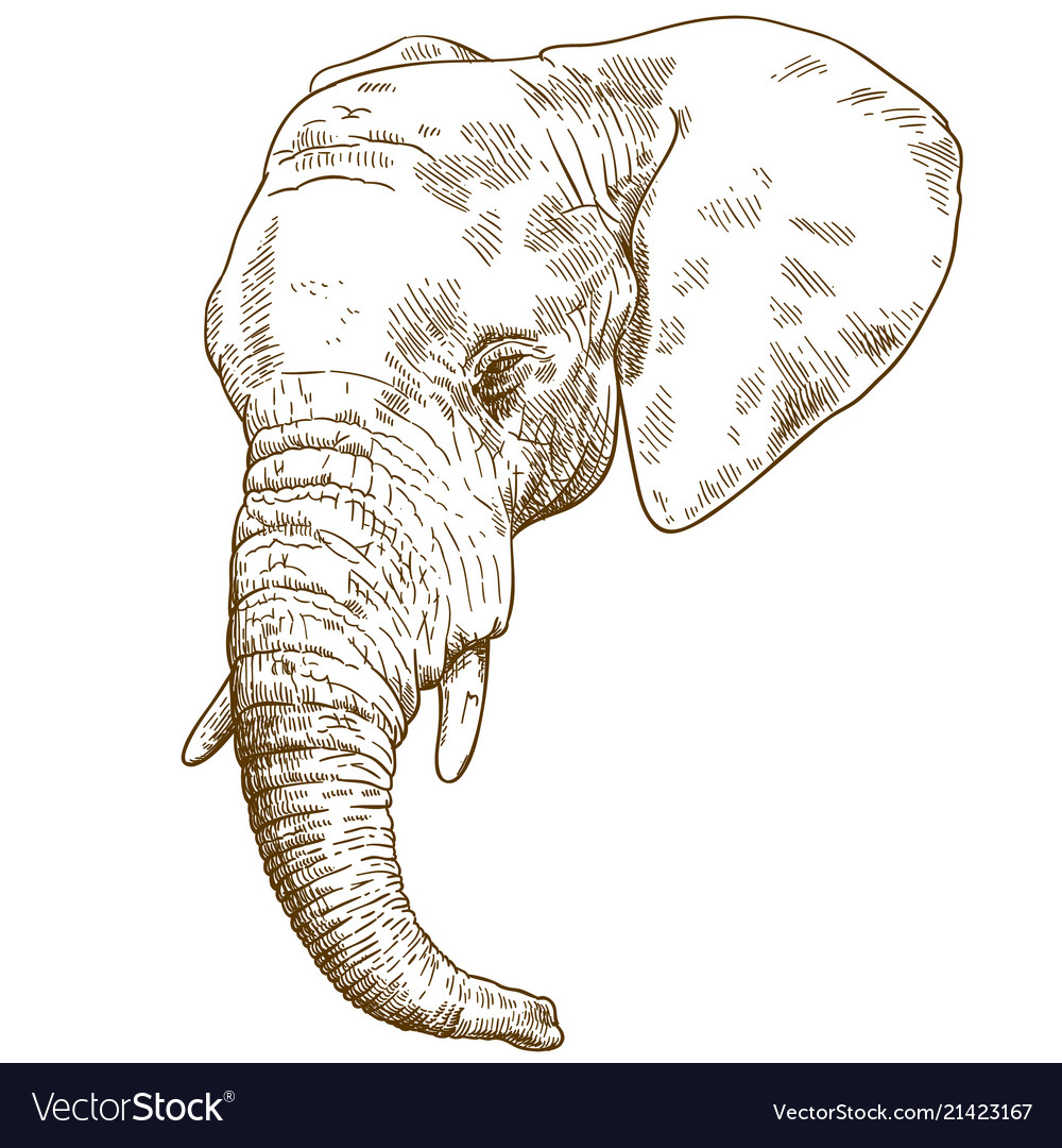 Engraving drawing of elephant head Royalty Free Vector Image