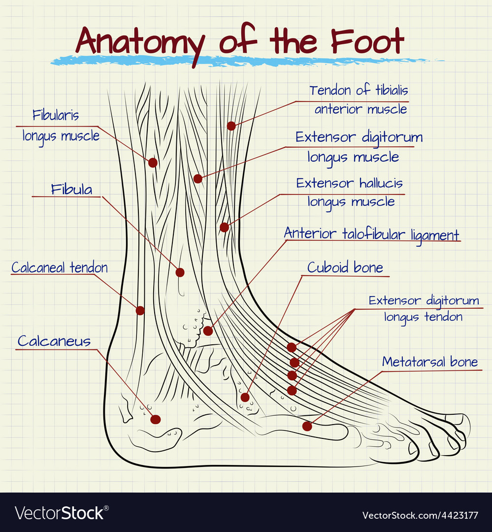 Structure Of The Human Foot Royalty Free Vector Image