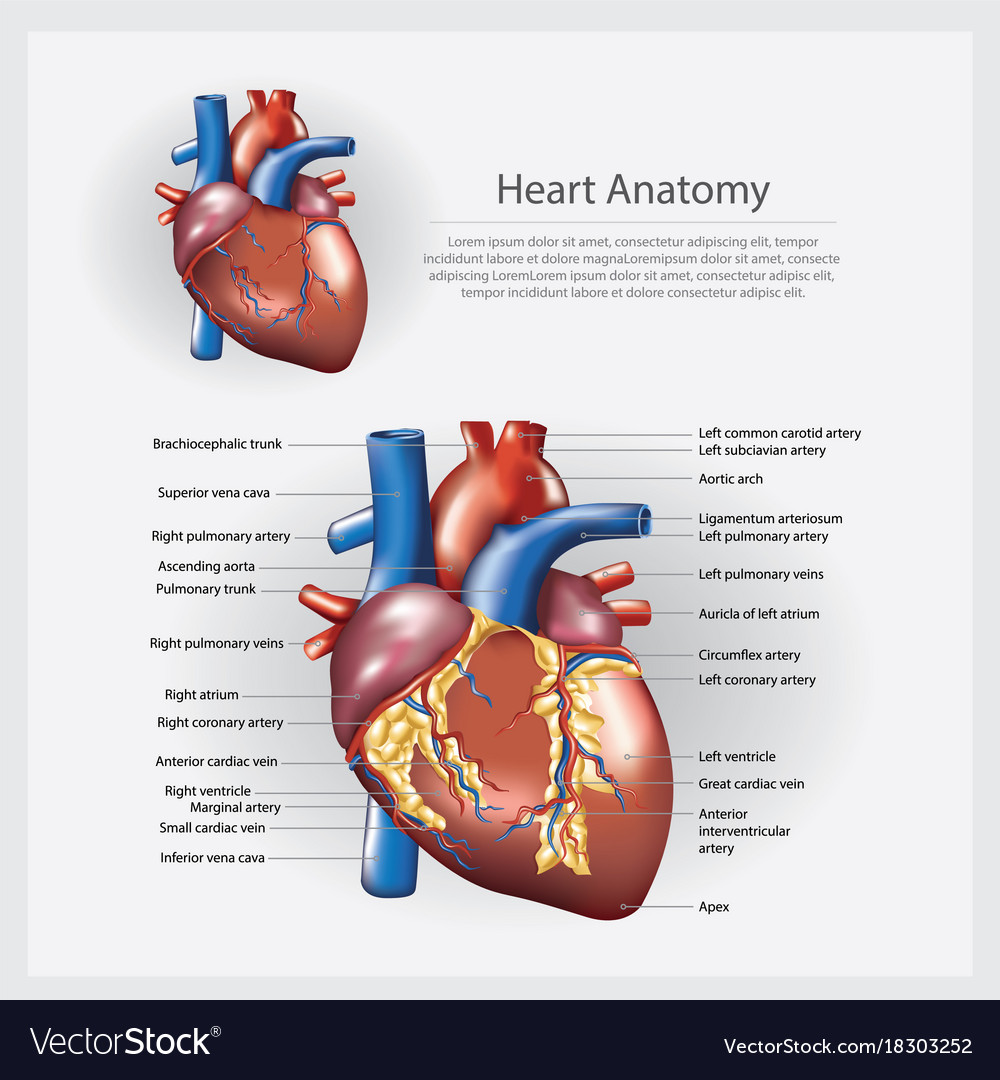 Heart anatomy Royalty Free Vector Image - VectorStock