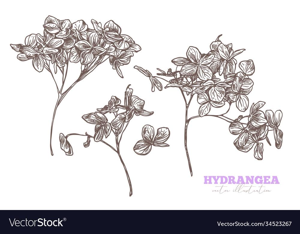 Sketch hand drawn hydrangea set