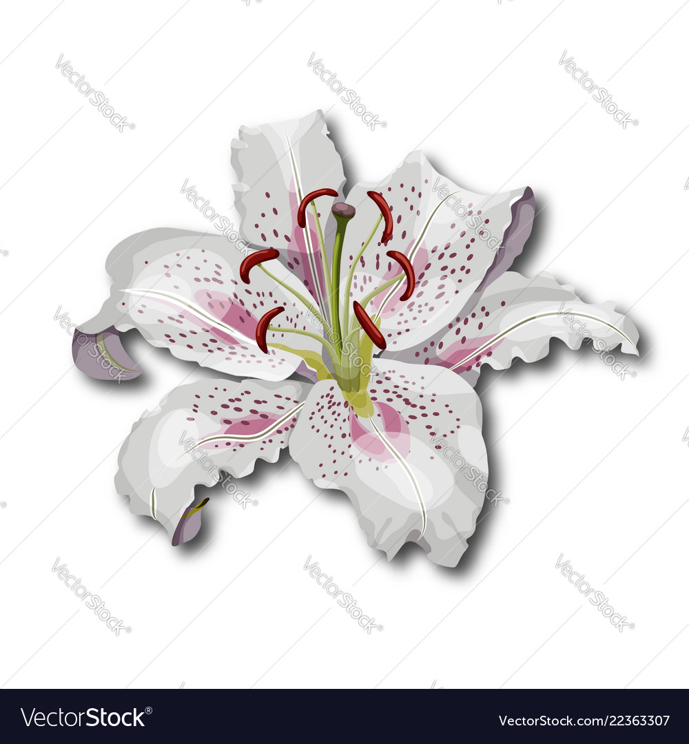 Oriental lily flower isolated on white background
