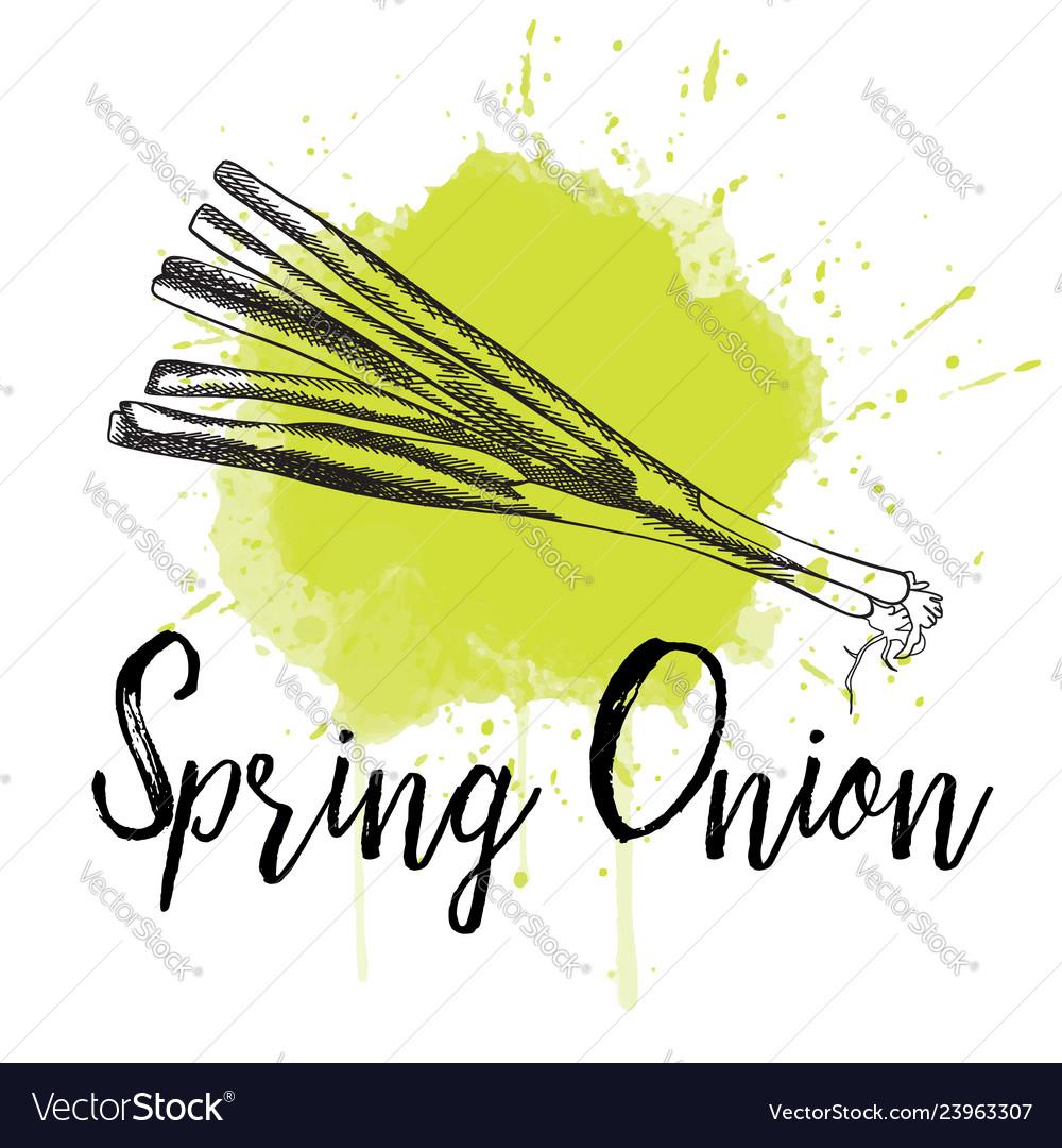 Spring onion hand drawn