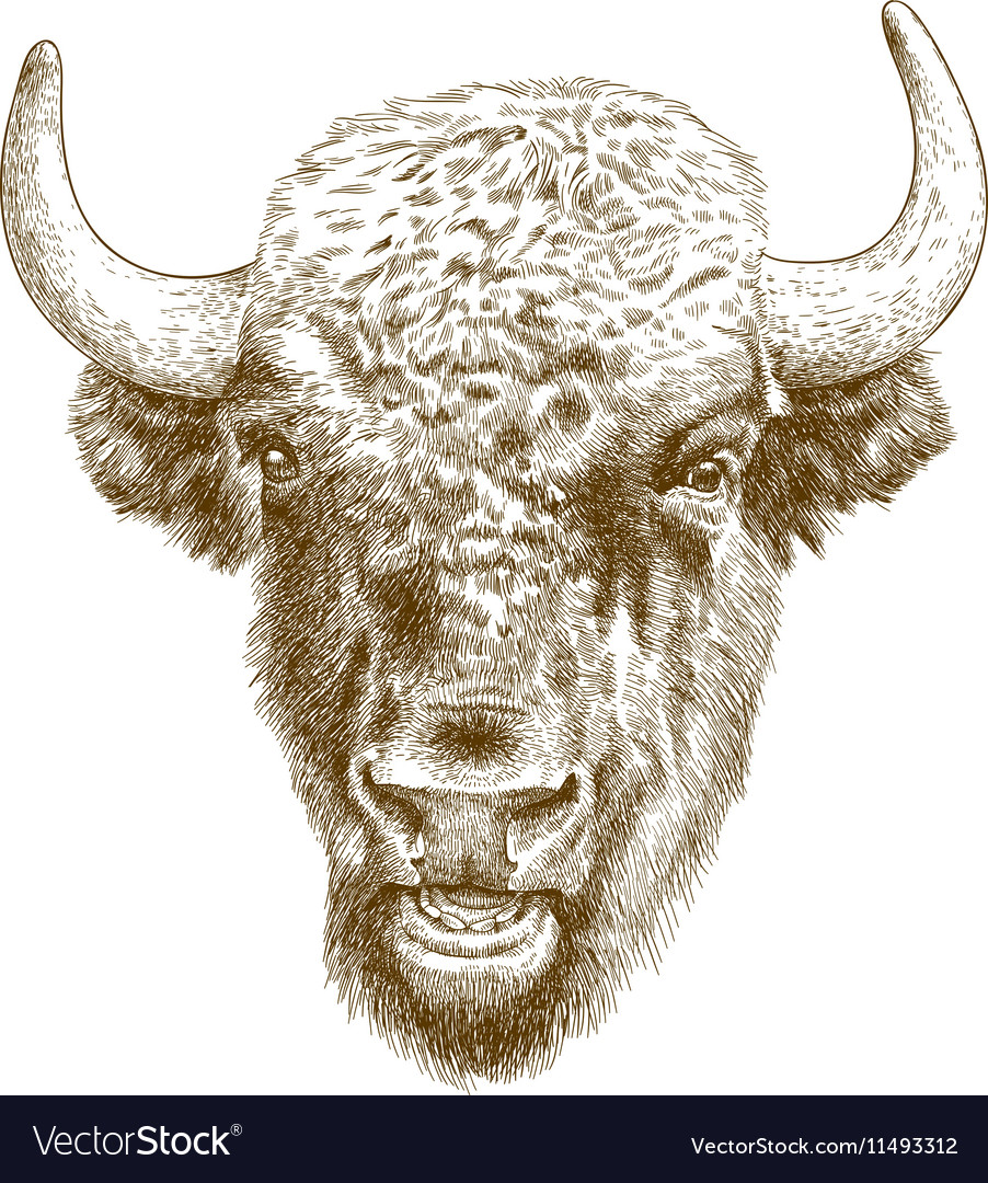 Engraving bison head vector image