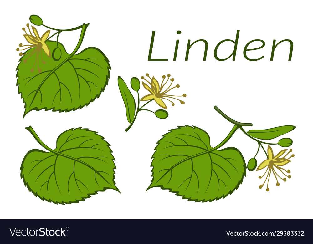 Linden leaves and flowers