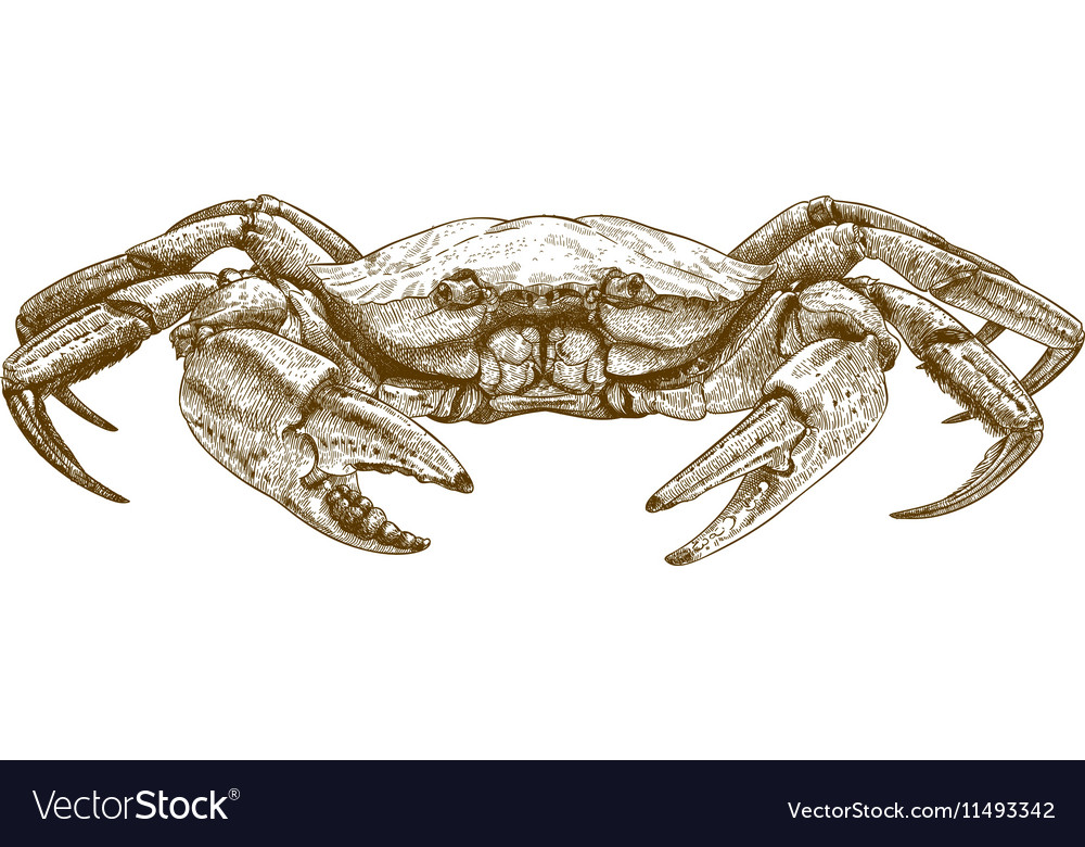Etching crab vector image