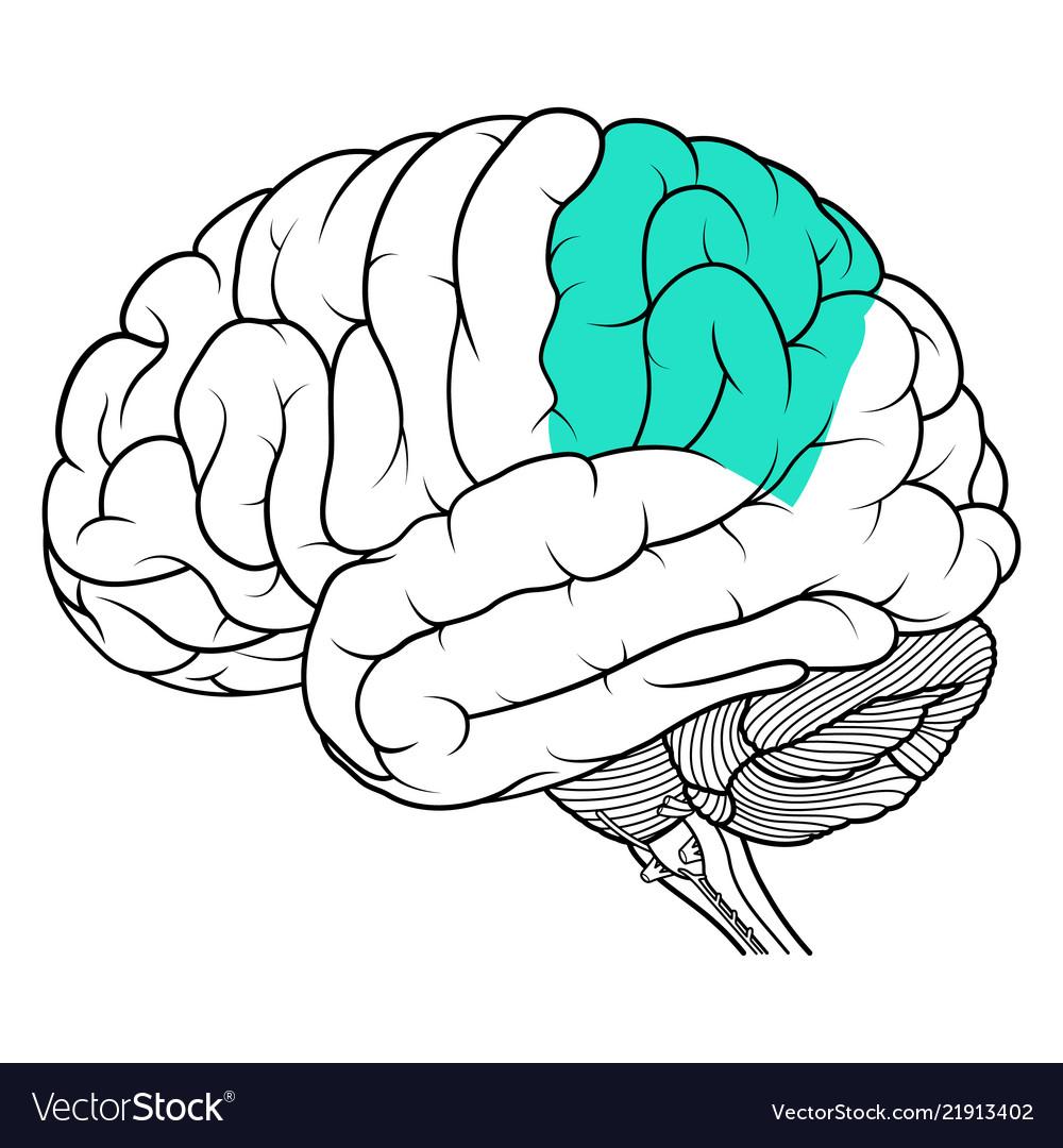 Parietal Lobe Of Human Brain Anatomy Side View Vector Image