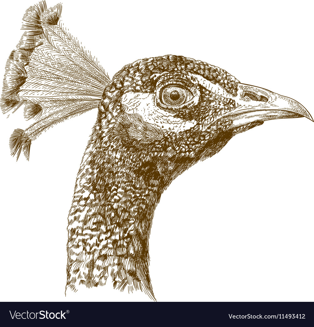 Engraving peacock head vector image