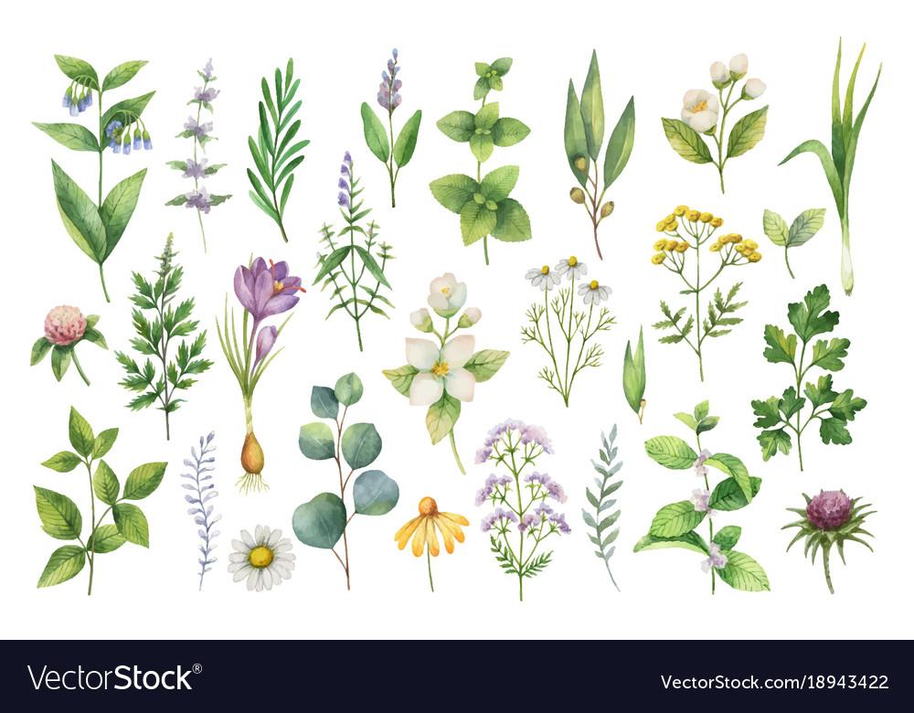 Hand drawn watercolor set of herbs