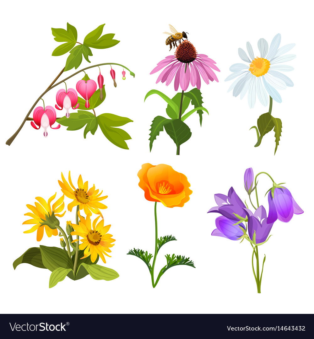 Set of echinacea bleeding heart flowers arnica vector image izmirmasajfo