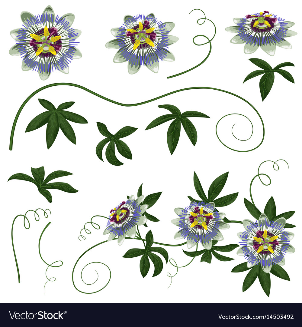 Passiflora Flowers And Leaves Set Royalty Free Vector Image