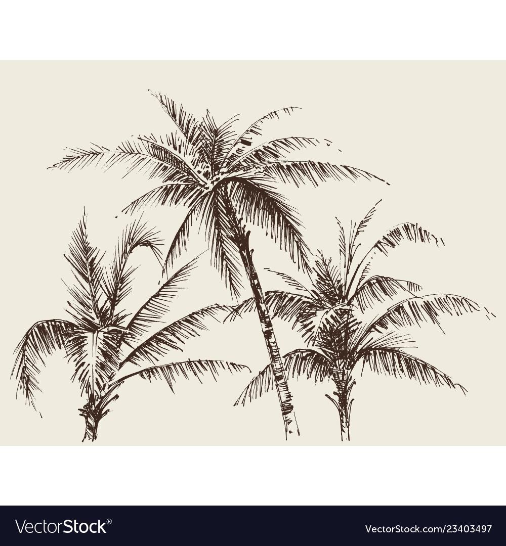 Palm trees foliage tree crown drawing