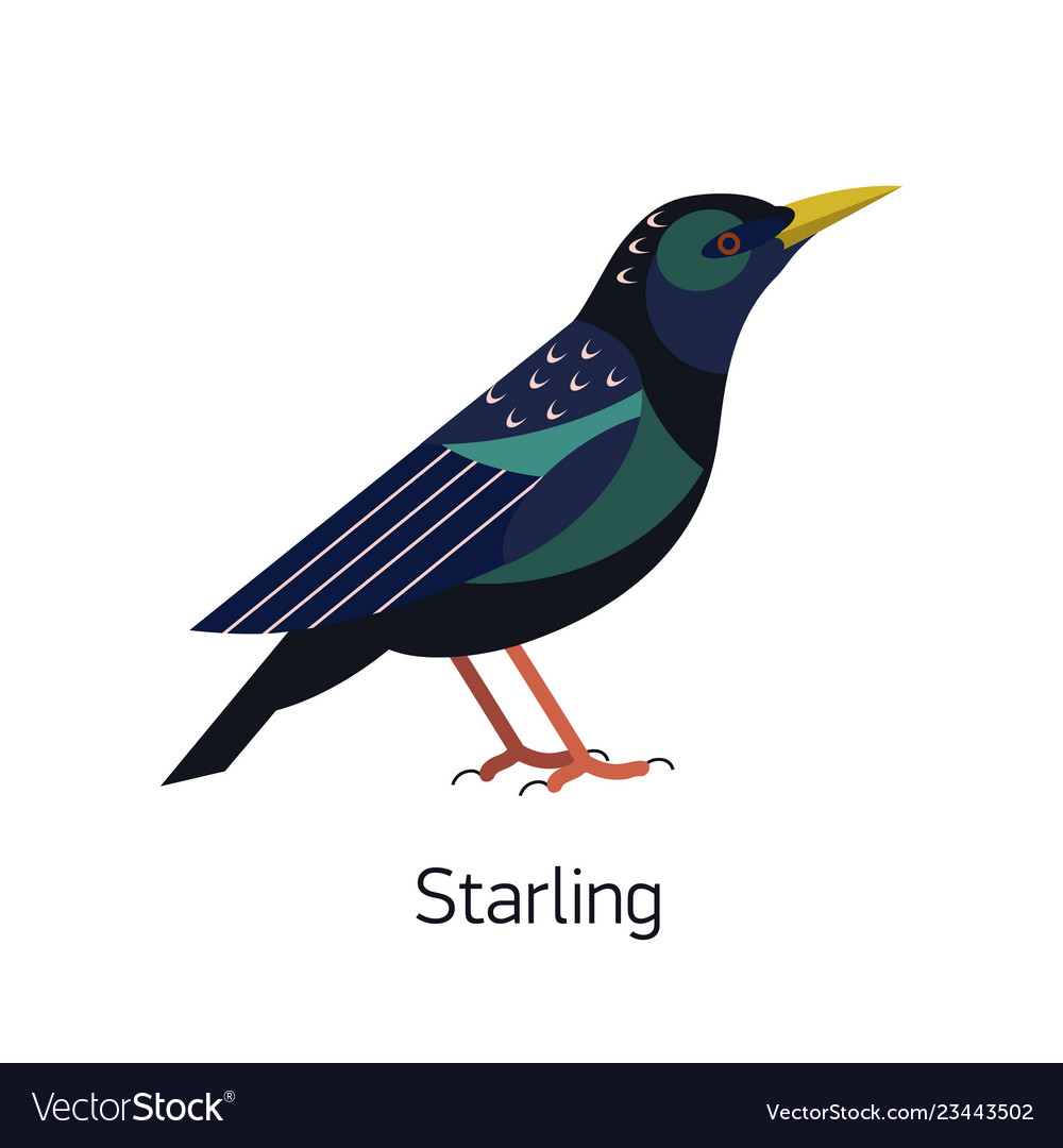 Starling isolated on white background small