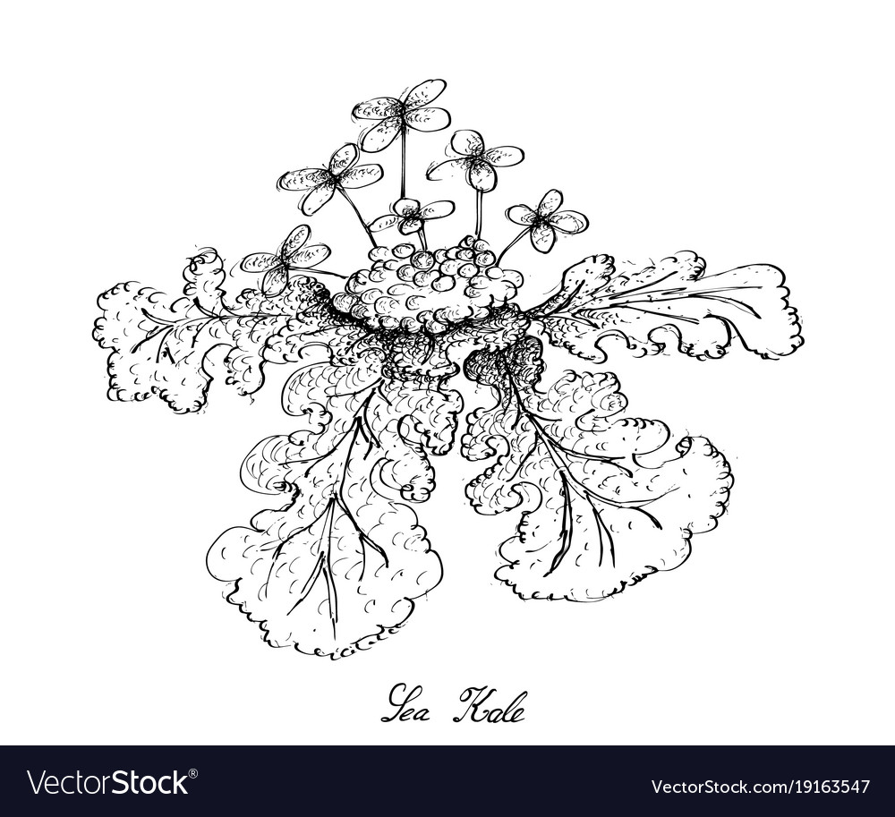 Hand drawn of sea kale on white background vector image