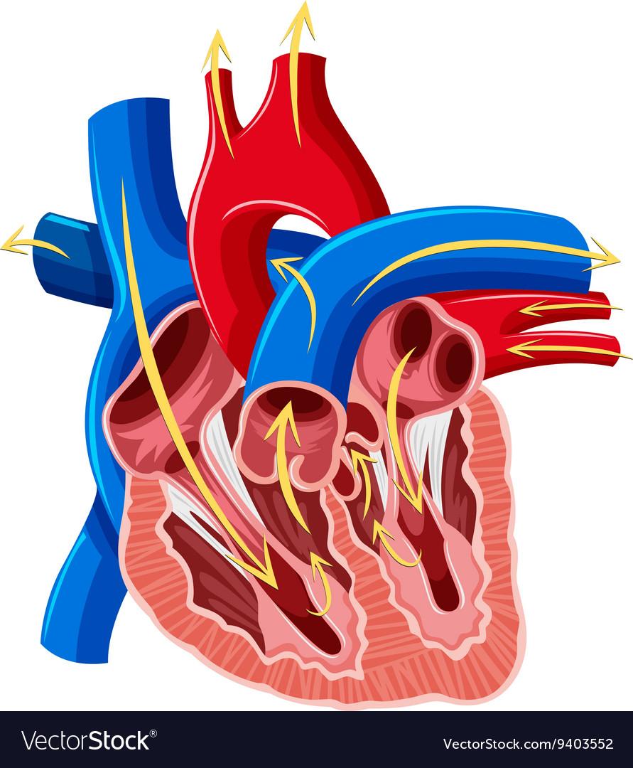 Inside The Heart Diagram - Human Anatomy