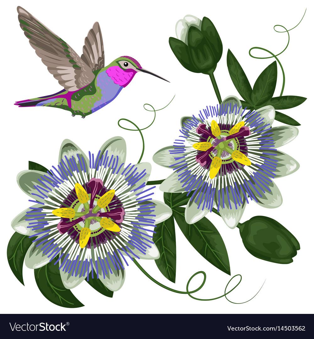 Hummingbird And Passiflora Royalty Free Vector Image