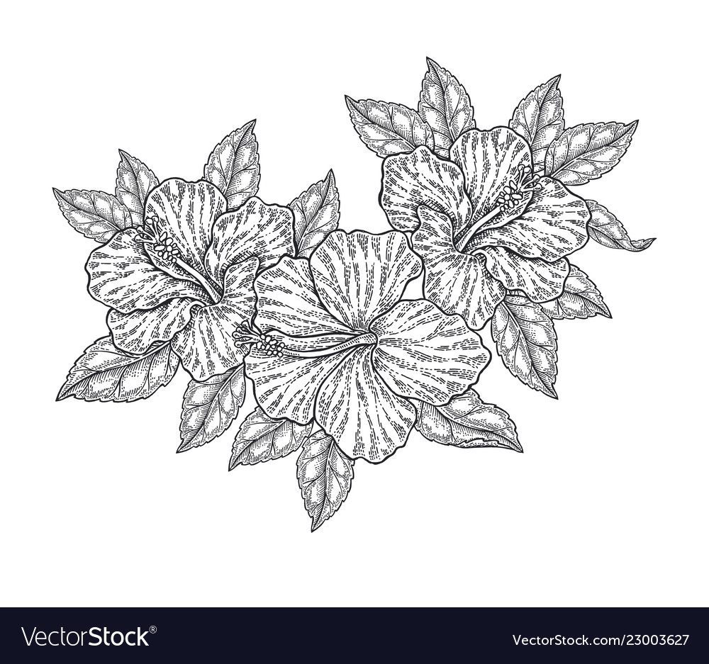 Hibiscus flowers and leaves isolated on white