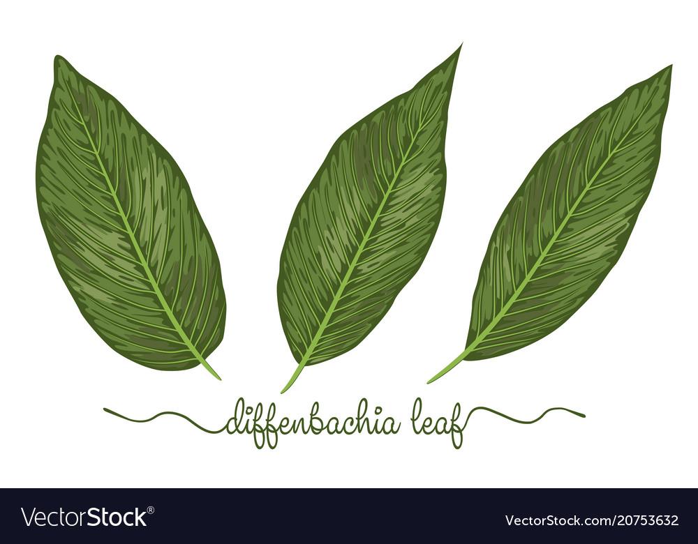Leaves of diffenbachia elements set botany hand