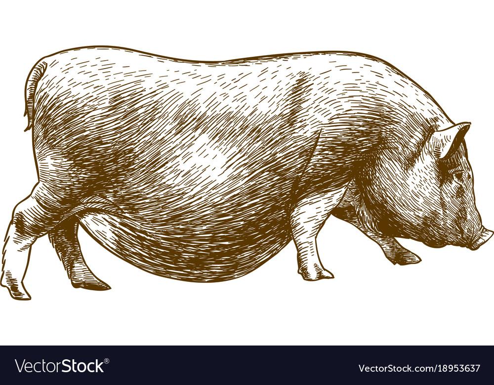 Engraving antique of hog