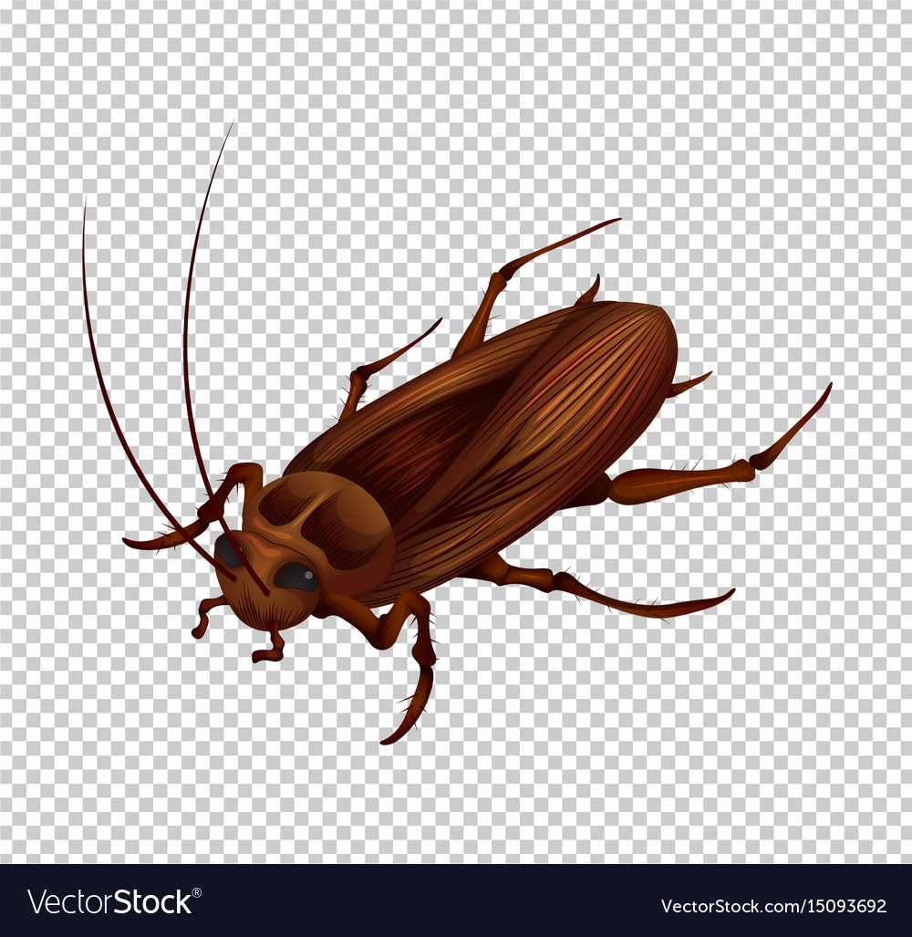 Cockroach on transparent background vector image