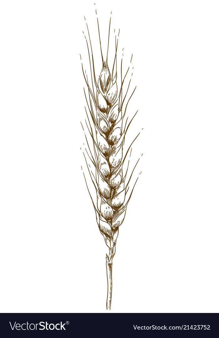 Engraving drawing of wheat ear