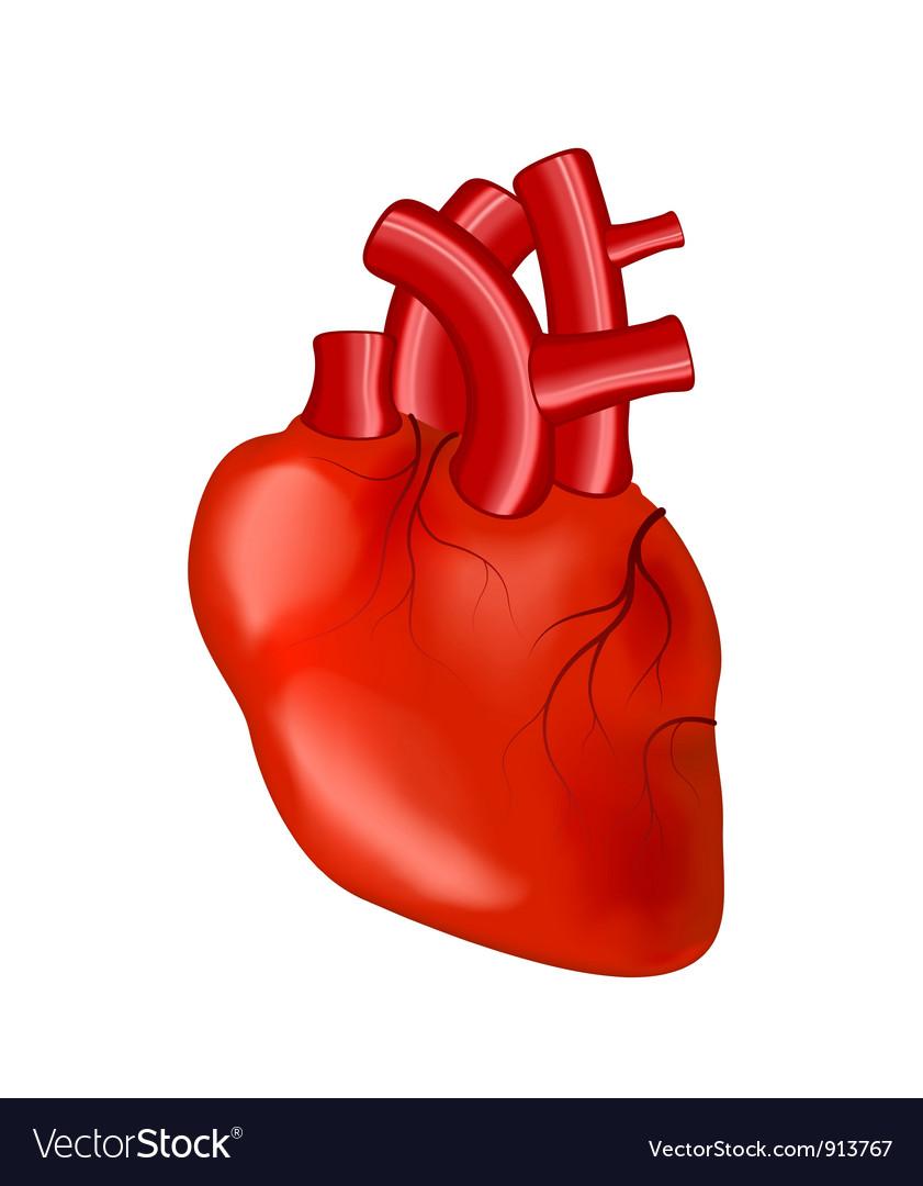 Human Heart Royalty Free Vector Image Vectorstock