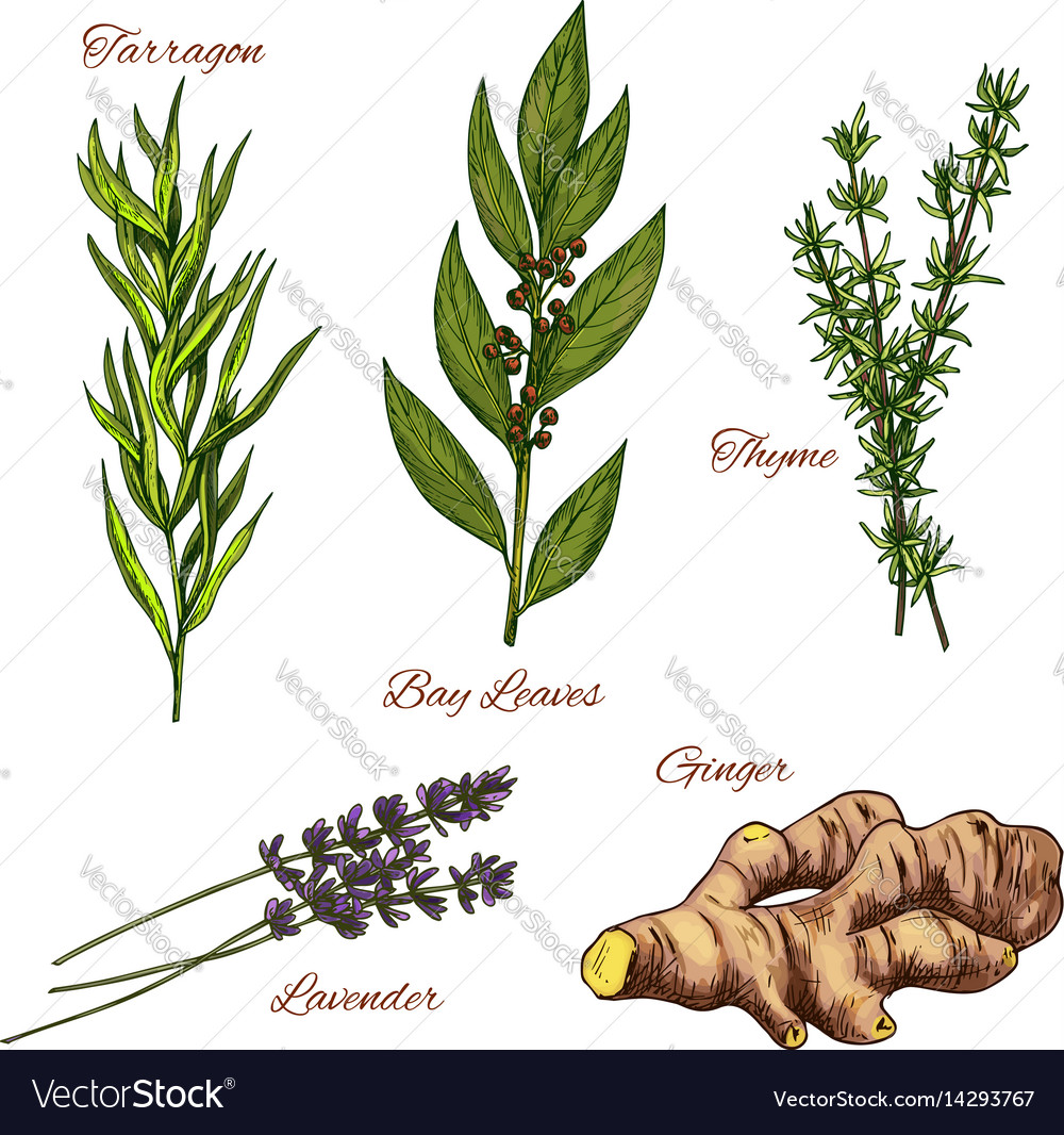 Sketch icons of spices and herbs vector image
