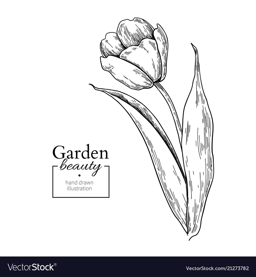 Tulip flower and leaves drawing hand drawn vector image