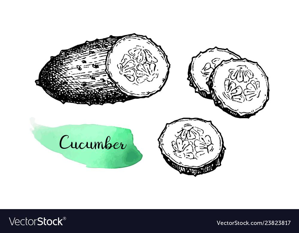 Ink sketch of cucumber