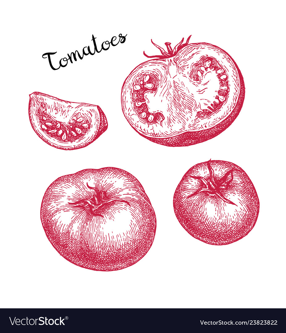 Ink sketch of tomato
