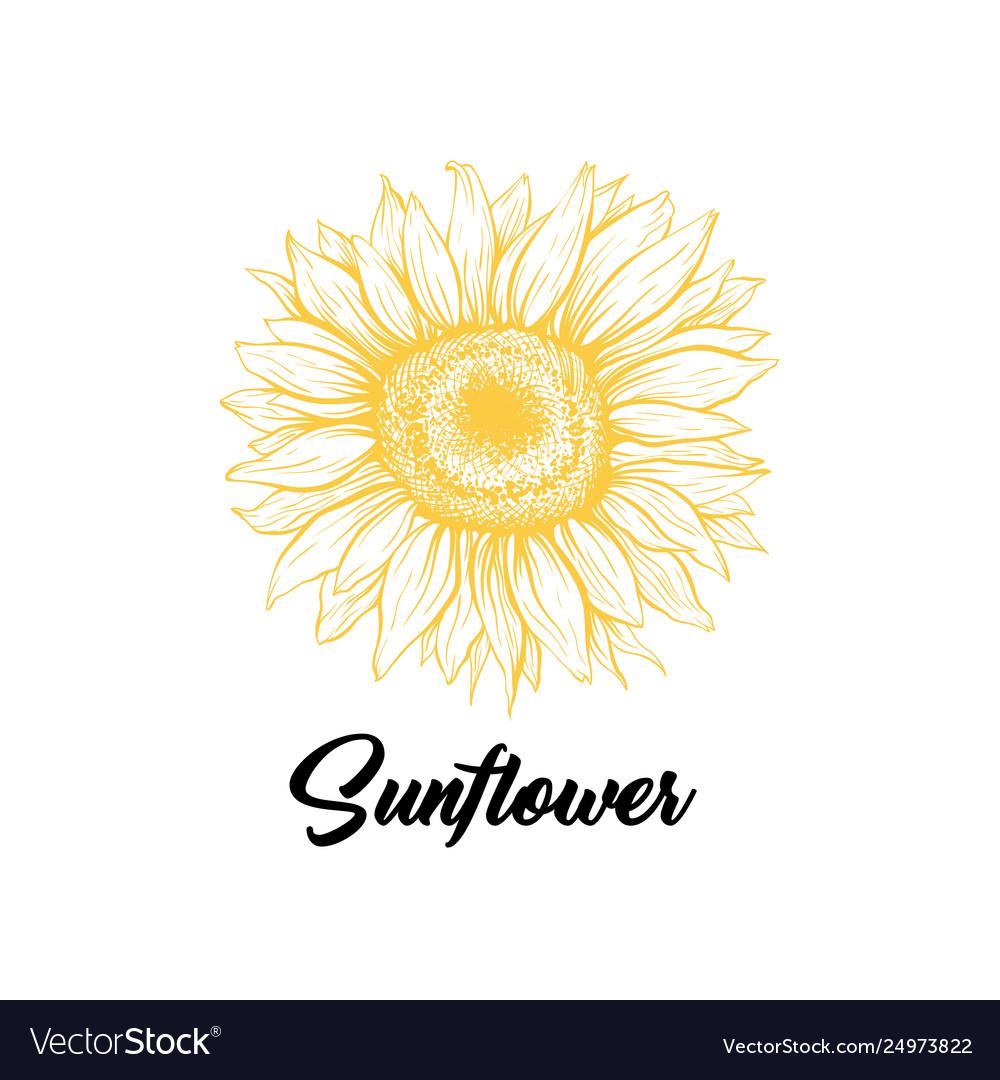 Sunflower yellow blossom hand drawn