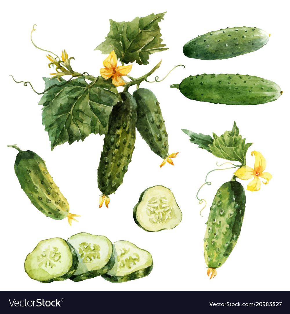 Watercolor cucumber set