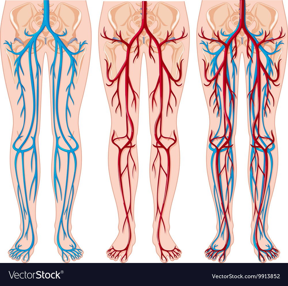 Diagram Showing Blood Vessels In Human Royalty Free Vector