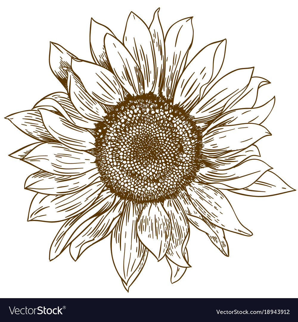 Engraving drawing of big sunflower