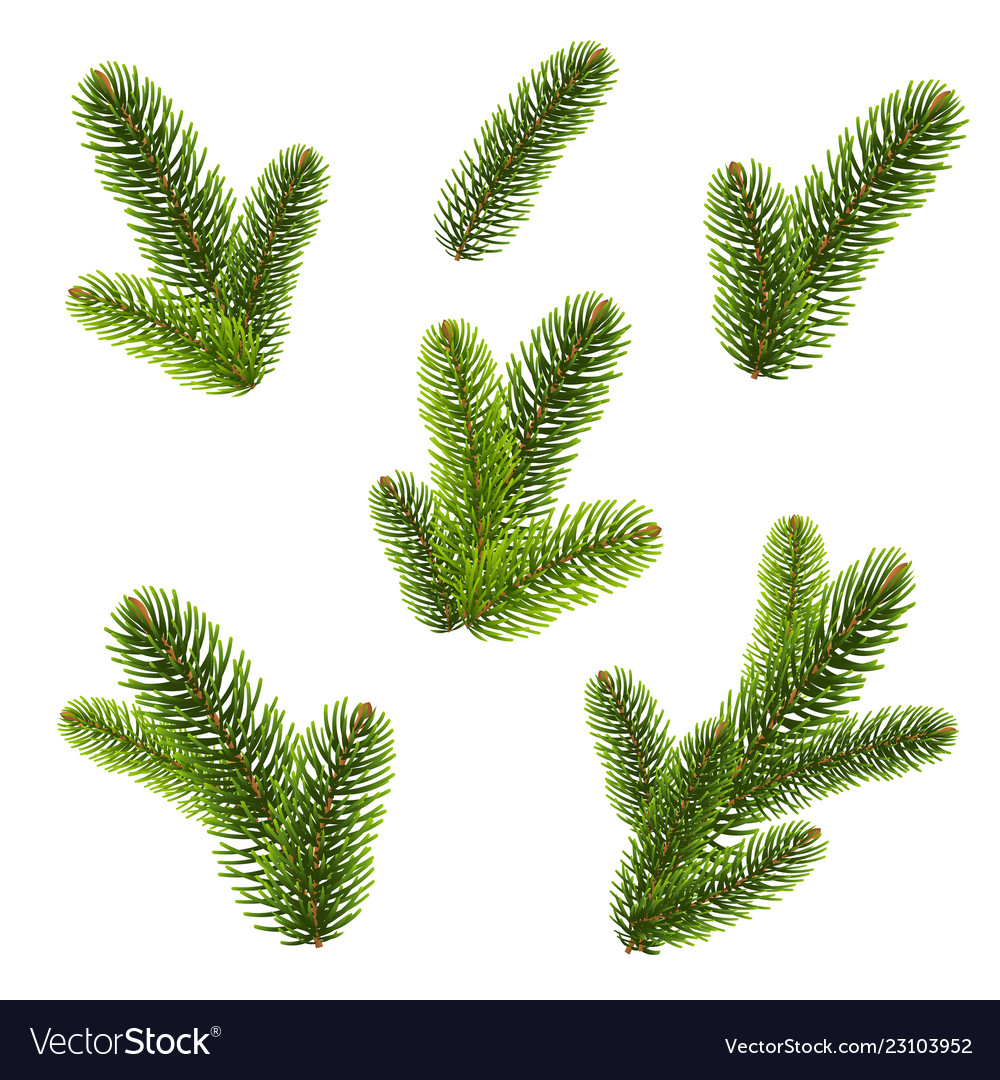 Firtree isolated isolated background
