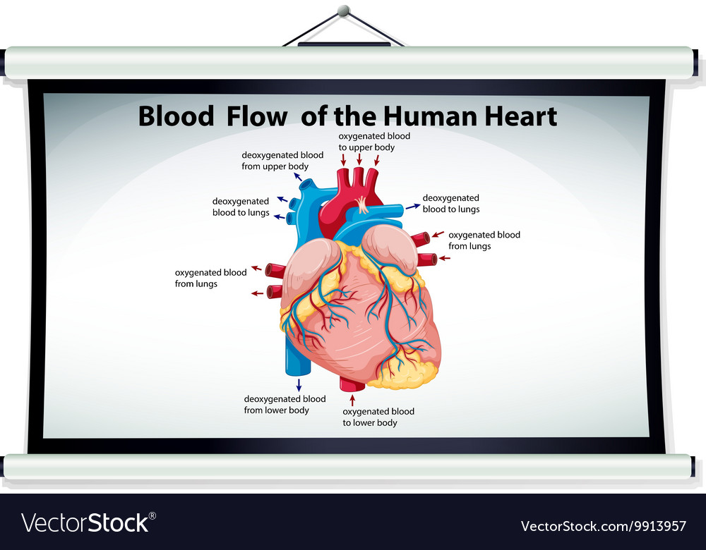 Chart Showing Blood Flow In Human Heart