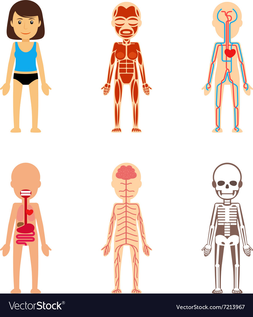 Female Body Anatomy Royalty Free Vector Image Vectorstock