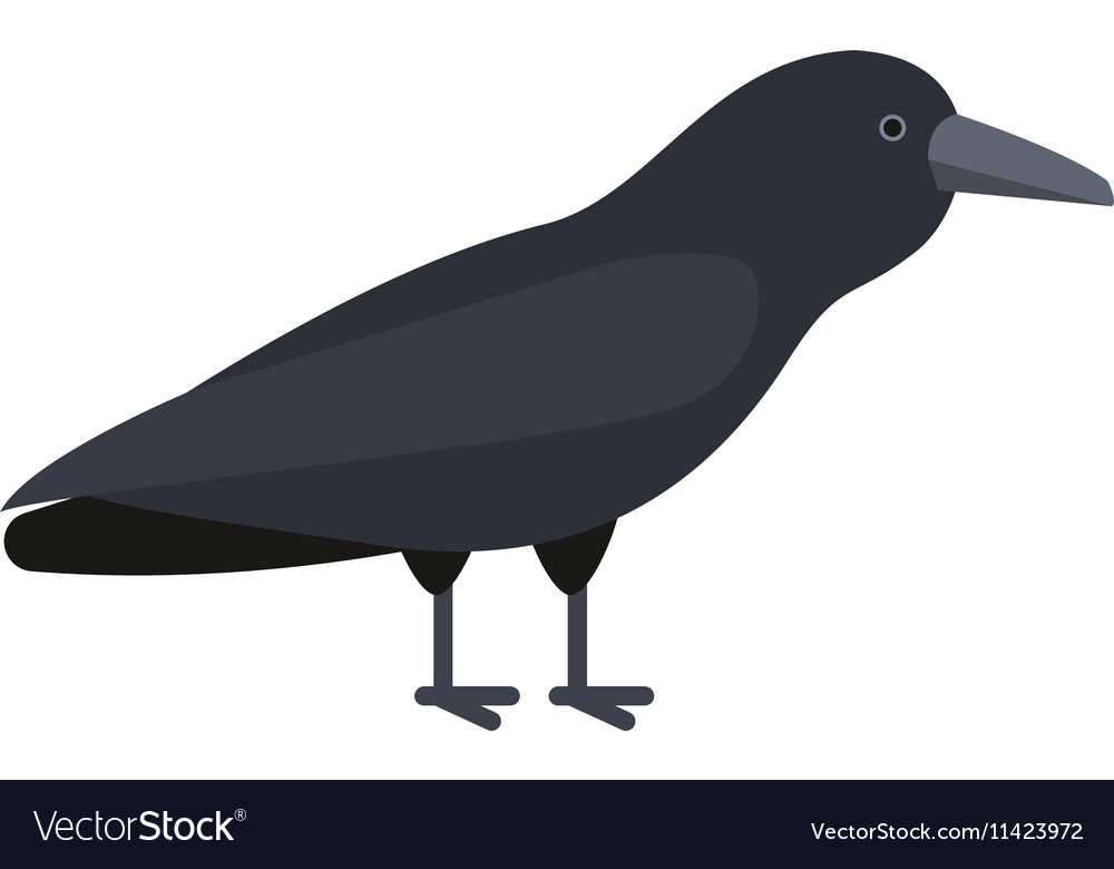 Carrion crow raven