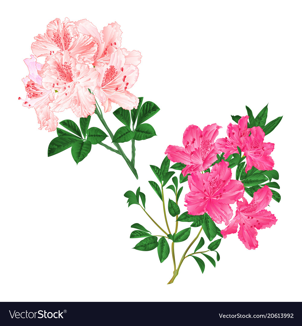 Branches Light Pink And Pink Flowers Royalty Free Vector