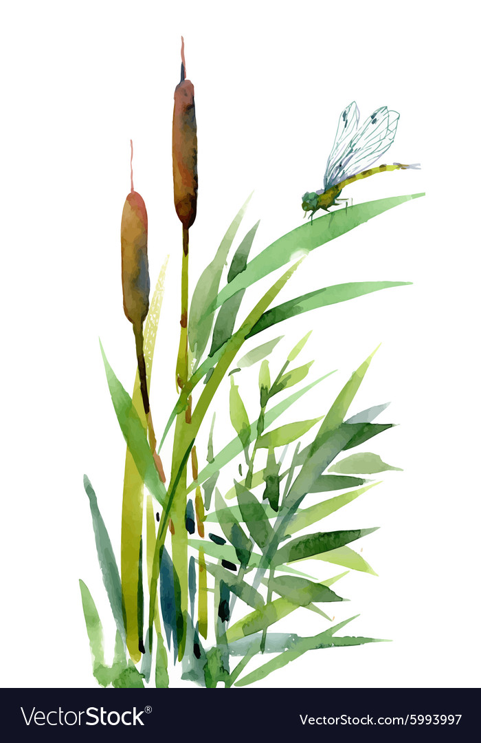 Watercolor reeds with leaves closeup isolated on