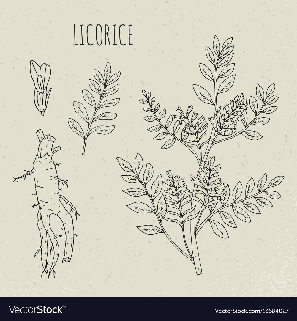Licorice botanical isolated plant vector image