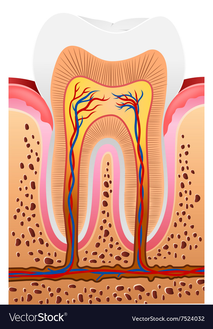 Cartoon Of Human Tooth Anatomy Royalty Free Vector Image