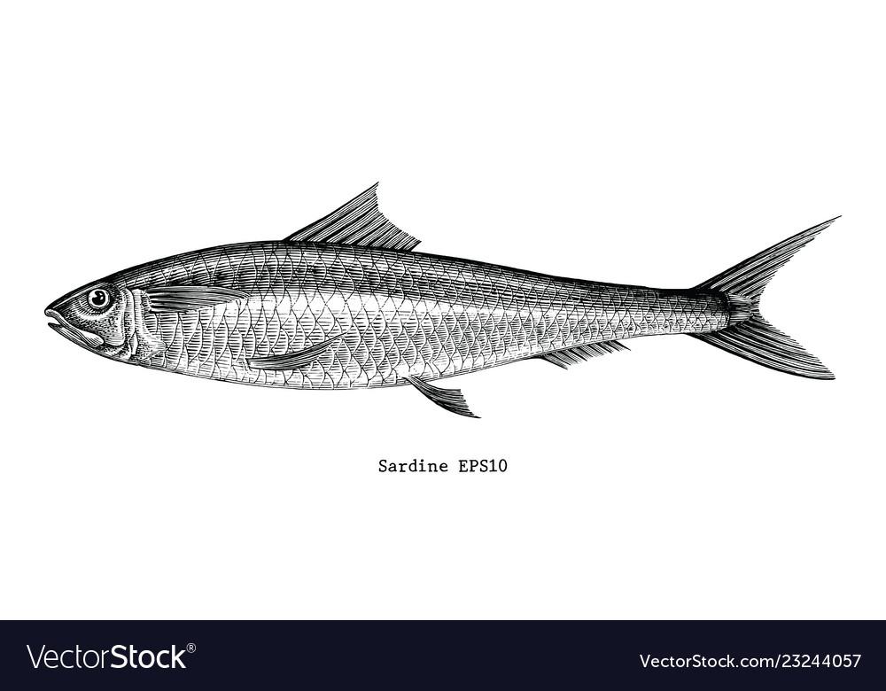 Sardine fish hand drawing vintage engraving