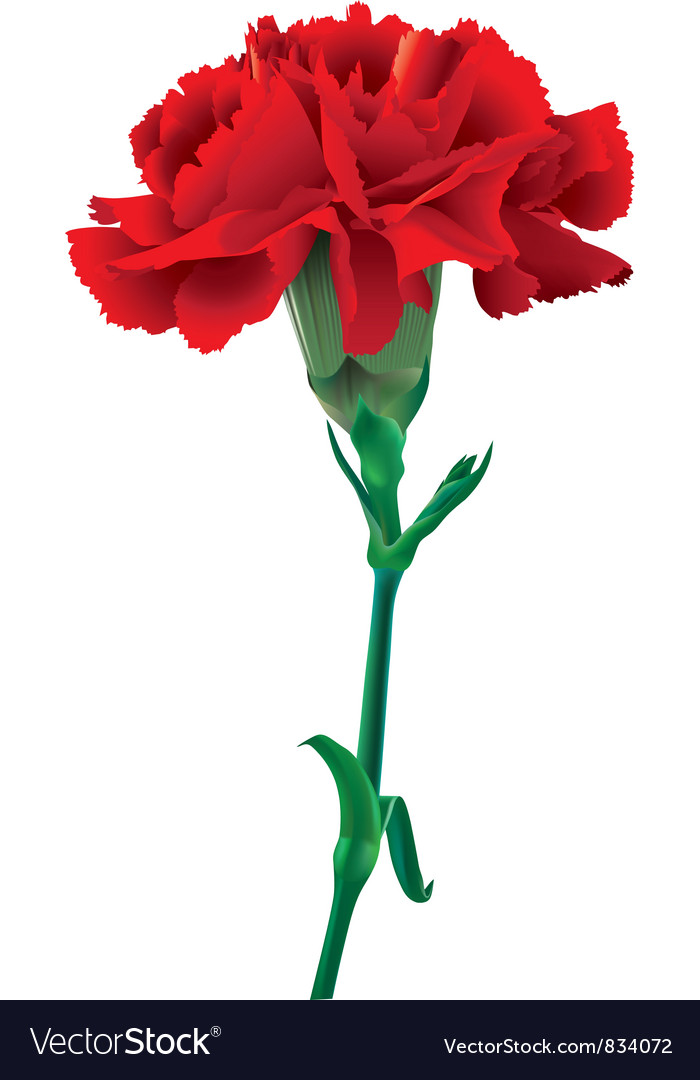 Red Carnation Royalty Free Vector Image Vectorstock