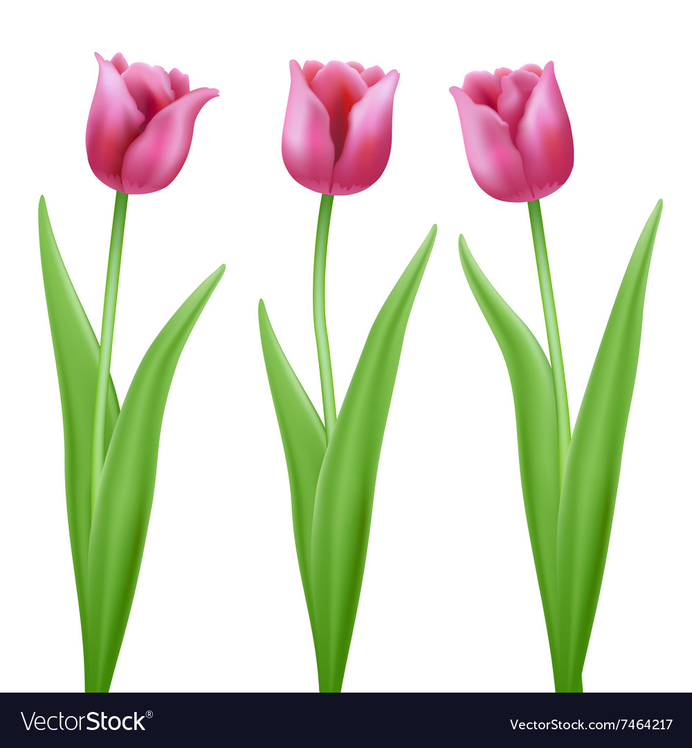 Three pink cartoon tulips royalty free vector image three pink cartoon tulips vector image izmirmasajfo