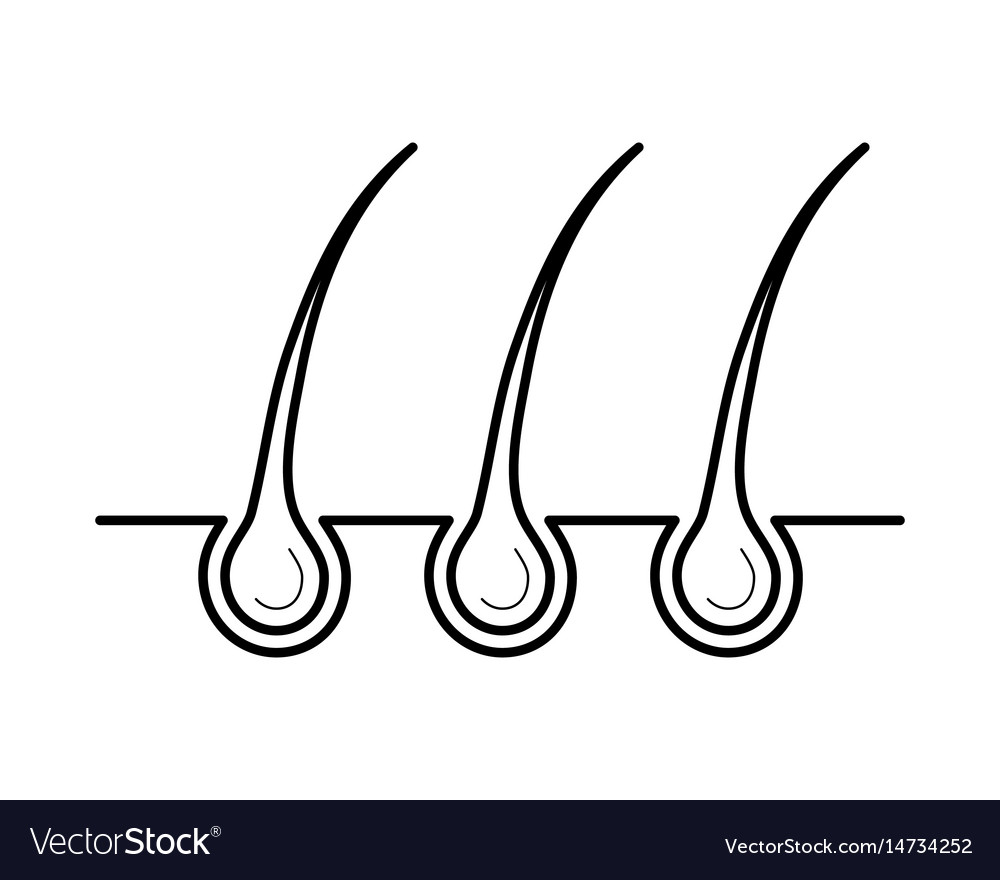 Hair and bulb in the skin surface vector image