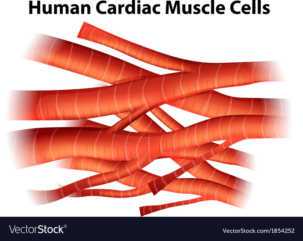 Human Cardiac Muscle Cells Royalty Free Vector Image