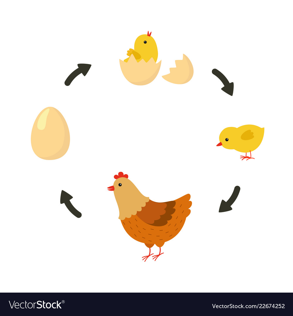 Life cycle of the chicken