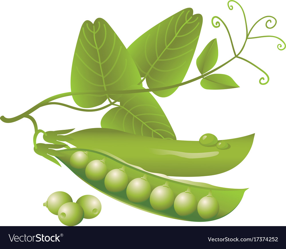Realistic pods of green peas tendril and leaves